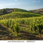 Parkinson : la présence de vignobles pourrait elle favoriser la maladie
