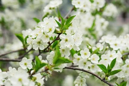 cerisier flowers